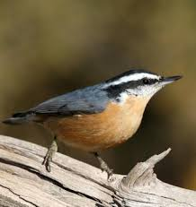 nuthatch picture