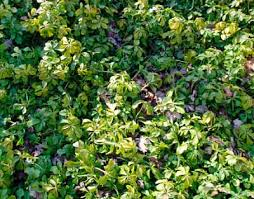 plant ground cover