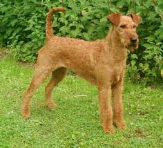 irish terrier dogs