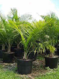 majesty palm trees