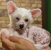 chinese crested dogs for sale