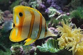 aggressive tropical fish
