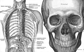 anatomy human
