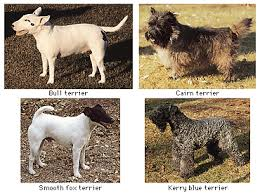 all breeds of terriers