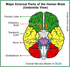 parts of the brain and what they do