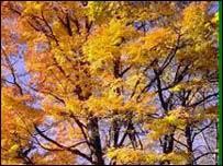 jatoba tree