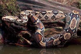columbian red tail boa constrictor
