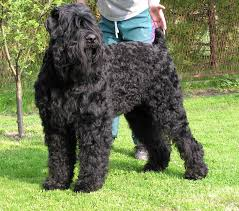 black russian dogs
