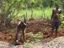 cassava farming