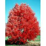 october red maple