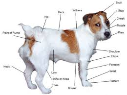 jack russell terrier breed
