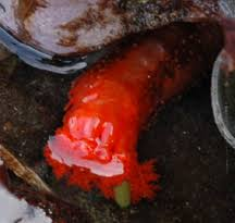 red sea cucumber