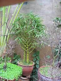bonsai bamboo