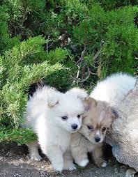 pomeranian poodle puppy