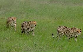 cheetah stuff