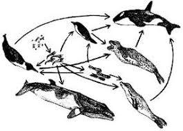 emperor penguin food web