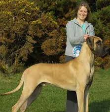 great dane dog breeders