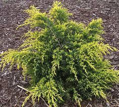 golden juniper