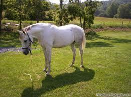 arabian quarter horse