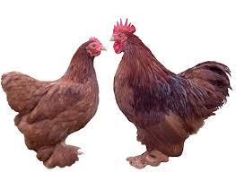 bantams chickens