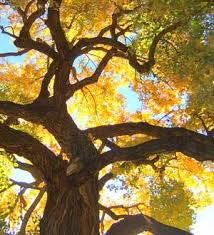 picture of cottonwood tree