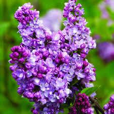 charles joly lilac