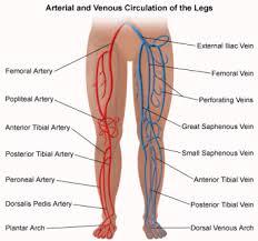 anatomy veins