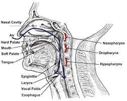 anatomy of a throat