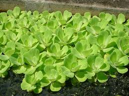 lettuce water
