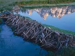 beavers dam