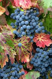 grape gardening