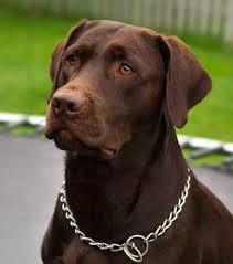 adopt labrador retriever