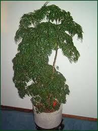 ming aralia plant