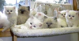 persian teacup kittens