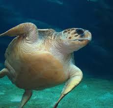 pictures of loggerhead sea turtles