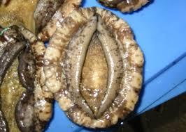 abalone photo