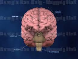 anterior view of brain