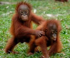 orangutans pics