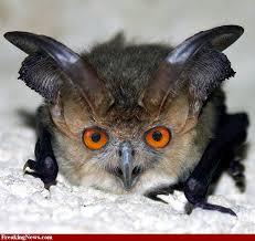 bat owl