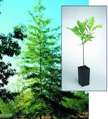 pin trees