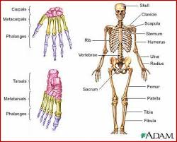 human body skeleton picture