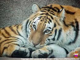 desktop wallpaper tiger
