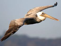 brown pelican pictures
