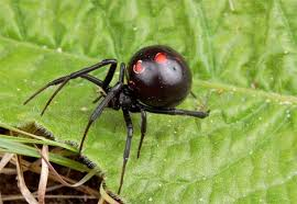 black widow spider picture