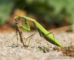 praying mantis insects