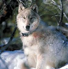 gray wolf yellowstone