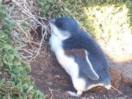 little blue penguin photos