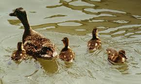 mallard duck breeding