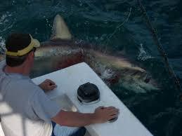 thresher shark fishing