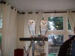 falconry owls